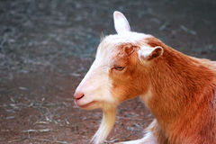 Goat with space for copy Royalty Free Stock Photos
