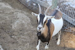 Goat with spots on a farm Stock Image