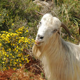 Goat and Spring. Its a sunny day in spring time here in the mountains of lebanon Royalty Free Stock Image