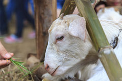 Goat. Stabled in, eating grass Royalty Free Stock Image