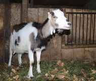 Goat in the stall. Photographs of goats in a real habitat. Stock Photography