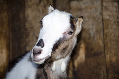 Goat in the stall. Photographs of goats in a real habitat. Royalty Free Stock Image