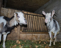 Goat in the stall. Photographs of goats in a real habitat. Royalty Free Stock Photography