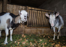 Goat in the stall. Photographs of goats in a real habitat. Stock Photos