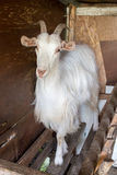 Goat in stall Royalty Free Stock Image
