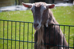 Goat stand on a fance Stock Photography