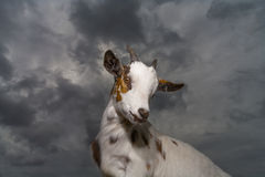 Goat standing against a stormy sky Royalty Free Stock Photo