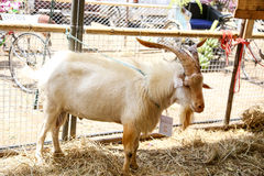 Goat standing Stock Photography
