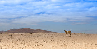 Goat standing in the desert. Goat standing in the desolate desert with some mountains in the background Royalty Free Stock Photos