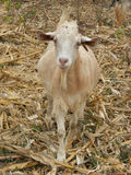 Goat standing on  dry leaves. Royalty Free Stock Photo