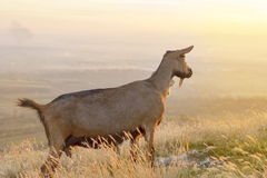 Goat standing in the field facing the sunset Royalty Free Stock Photography