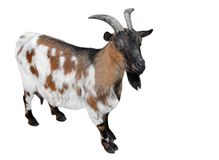 Goat standing full length isolated on white. Funny white and brown female goat close up. Farm animals.  royalty free stock images