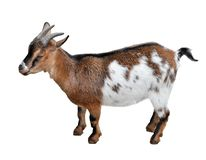 Goat standing full length isolated on white. Funny white and brown female goat close up. Farm animals.  royalty free stock photos