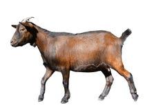 Goat standing full length isolated on white. Runnig funny female goat close up. Farm animals. Goat standing full length isolated on white. Runnig funny female royalty free stock photo
