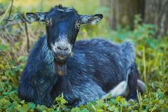 Goat standing on the green grass Stock Image