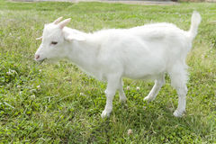 Goat standing on lawn Royalty Free Stock Photography