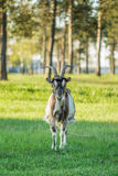Goat standing in a meadow of green grass Royalty Free Stock Image