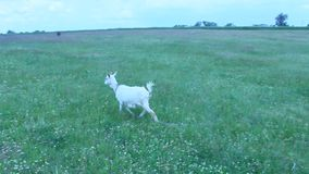 Goat standing on the pasture Royalty Free Stock Image