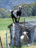 Goat standing on post with sheep Royalty Free Stock Image
