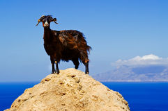 Goat standing on a rock. Against the blue sky Royalty Free Stock Photo