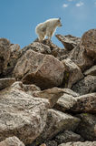 Goat Standing on Rocks Vertical Royalty Free Stock Image
