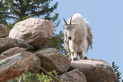 Goat Perched On Rock Cliff. A goat standing still on rocks, staring straight ahead, his fur shedding royalty free stock photography