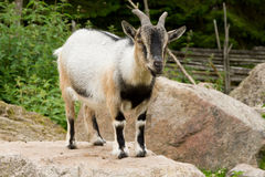 Goat. A goat standing on a stone Royalty Free Stock Photo