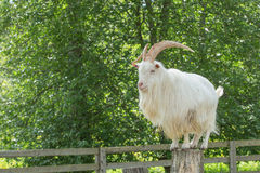 He-goat standing on a stump Stock Images