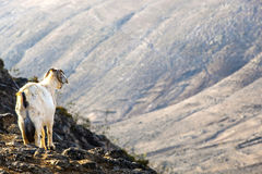 Goat standing on top of a mountain at Lanzarote Royalty Free Stock Photo