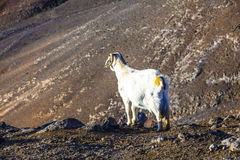 Goat standing on top of a mountain at Lanzarote Royalty Free Stock Photography