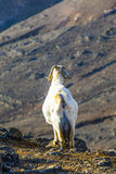 Goat standing on top of a mountain in Lanzarote Stock Image