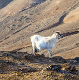 Goat standing on top of a mountain in Lanzarote Stock Photo