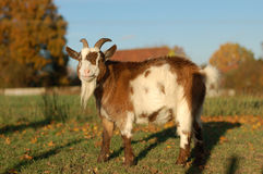 Goat standing in warm sunlight Royalty Free Stock Photos
