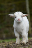 Goat Royalty Free Stock Photography
