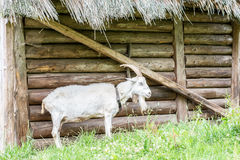 Goat standing at a wooden sty Stock Photos