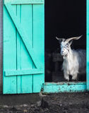 Goat stands in doorway. A goat stands in the doorway Royalty Free Stock Photos