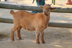 A Goat Stands in Front of A Fence and Looks Cute Royalty Free Stock Images