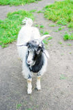 Goat stands on the ground. Royalty Free Stock Photo
