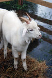 Goat stands on hays surrounded by water. View from above Stock Images