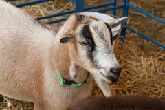 Goat at Farm Fair Stock Image