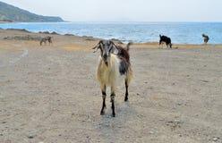The goat Royalty Free Stock Photos