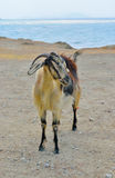 The goat Stock Photos