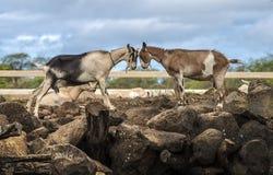 Goat Stare Stock Photo