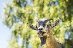 Goat staring Royalty Free Stock Images