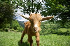 Goat staring in Asturias Royalty Free Stock Photography