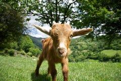 Goat staring in Asturias Stock Image