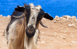 Goat staring at the camera Royalty Free Stock Images