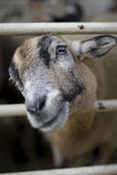 Goat Staring Through Fence Stock Images