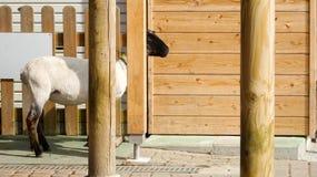 Goat staring at Motherfarm Royalty Free Stock Photos
