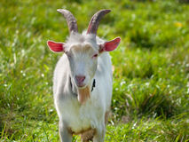 Goat staying on green grass. Young goat on green grass background on bright sunny day Royalty Free Stock Photography
